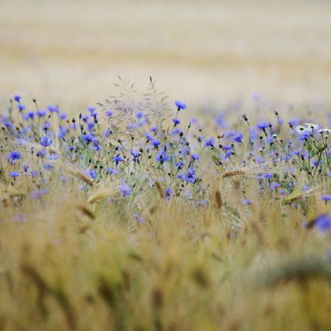 cereals, purple flowers